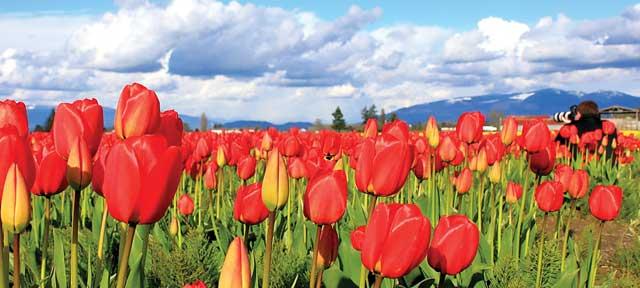 Mount Baker Experience - Skagit Tulip Festival