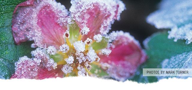 Frost Flowers Mt. Baker